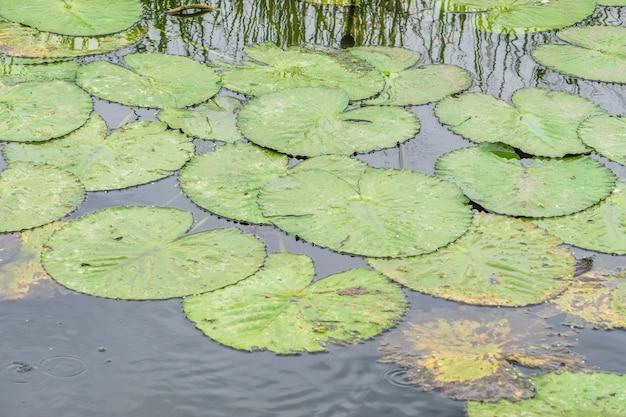 夕方のロータス池。 、蓮の葉を持つ自然の風景