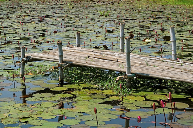 Lotus pond with a bamboo dock in the countryside of central thailand