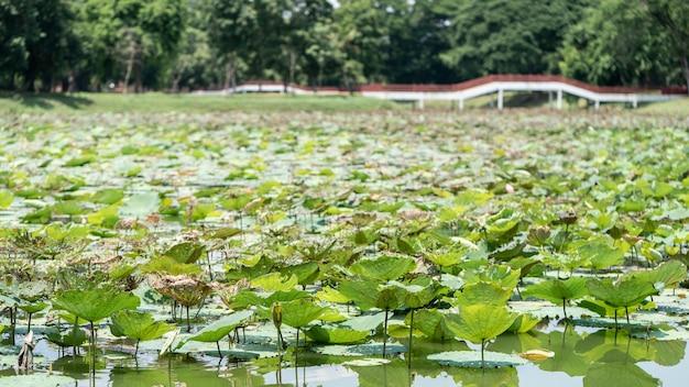 仏の水の花の湖の睡蓮の蓮の池