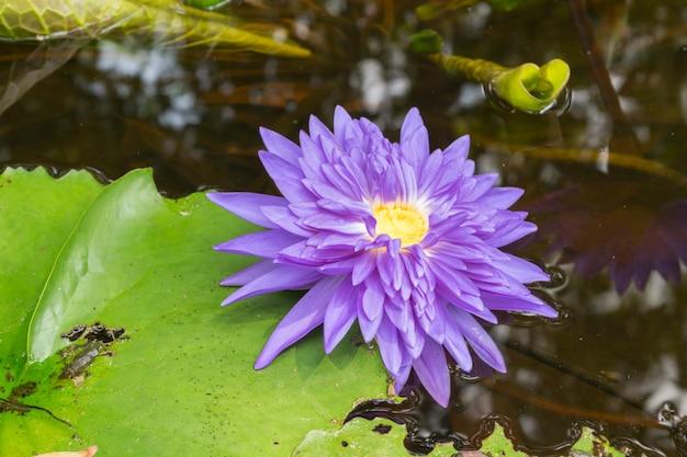 蓮の蓮の花紫色、自然に美しい庭の花