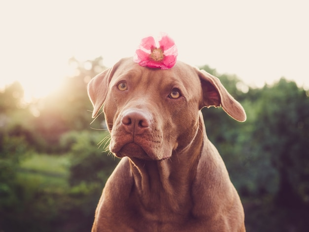 Lovable, pretty puppy of brown color. close up, outdoors. day light. concept of care, education, obedience training and raising pets