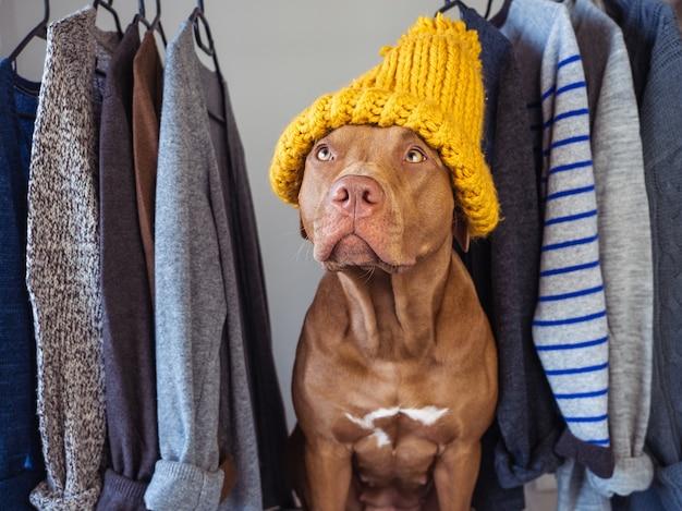 초콜릿 색의 사랑스럽고 예쁜 강아지. 클로즈업, 실내. 낮 빛. 동물과 패션. 보살핌, 교육, 복종 훈련, 애완 동물 키우기의 개념