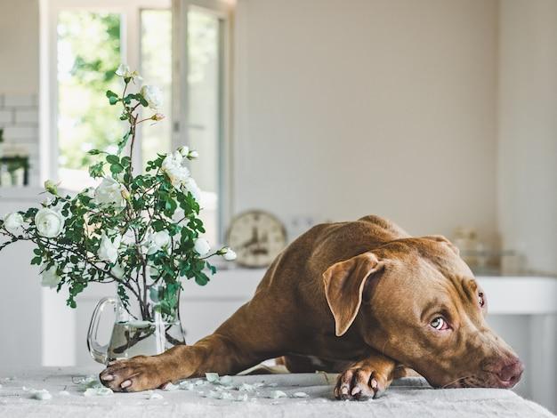 초콜릿 색의 사랑스럽고 예쁜 강아지. 클로즈업, 실내. 일광. 돌봄, 교육, 복종 훈련, 애완 동물 기르기의 개념