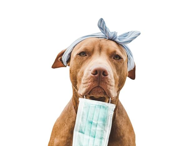 愛らしい、かわいいチョコレート色の子犬。クローズアップ、屋内。明け。ケア、教育、服従訓練、ペットの飼育の概念