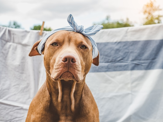 Симпатичный, симпатичный щенок шоколадного окраса. крупный план, дачный. концепция ухода, воспитания, дрессировки, воспитания домашних животных