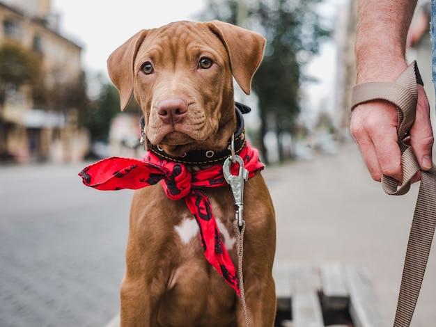 초콜렛 색깔의 사랑스럽고 예쁜 강아지. 클로즈업, 야외. 일광. 보살핌, 교육, 복종 훈련, 애완 동물 기르기의 개념