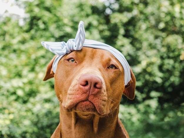 Симпатичный, симпатичный щенок шоколадного окраса. крупным планом