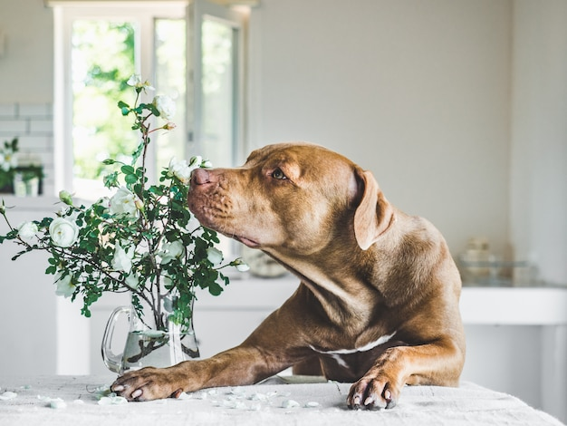 チョコレート色の愛らしい、かわいい子犬
