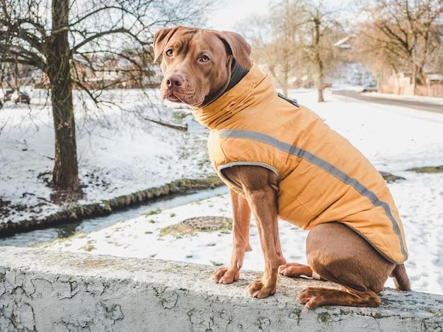 초콜렛 색깔의 사랑스럽고 예쁜 강아지.