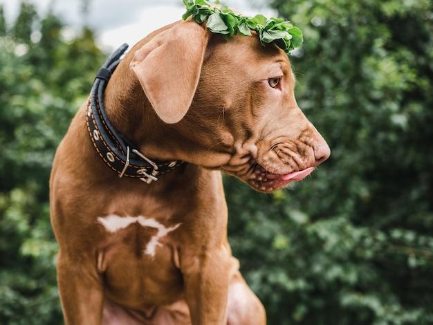 초콜릿 색의 사랑스럽고 예쁜 강아지.