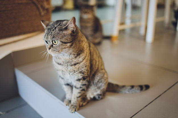 愛らしいスコティッシュフォールドの猫猫が木の床に横たわっています。とても面白いふわふわ猫の肖像画。