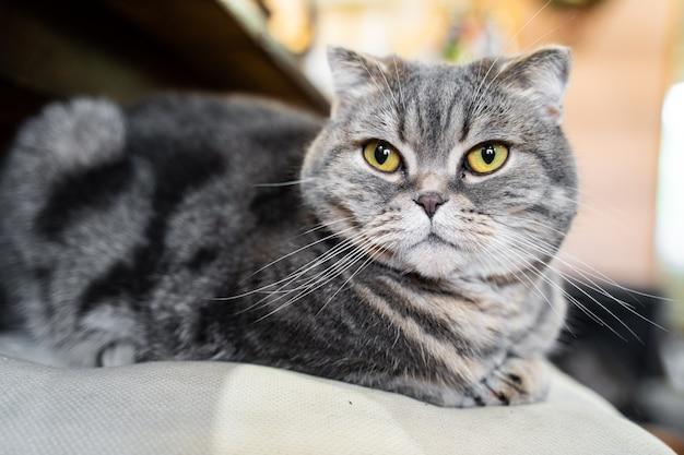 愛らしいスコティッシュフォールド猫。自宅で座って、カメラ目線