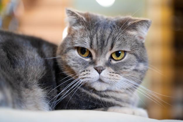 愛らしいスコティッシュフォールド猫。自宅で座って、カメラ目線 Premium写真
