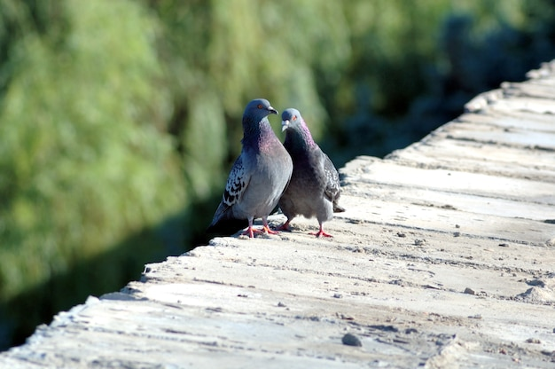 Love game of two pigeons on a parapet