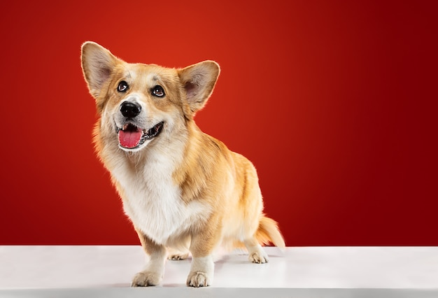 Love my home. welsh corgi pembroke puppy is posing. cute fluffy doggy or pet is sitting isolated on red background. studio photoshot. negative space to insert your text or image.