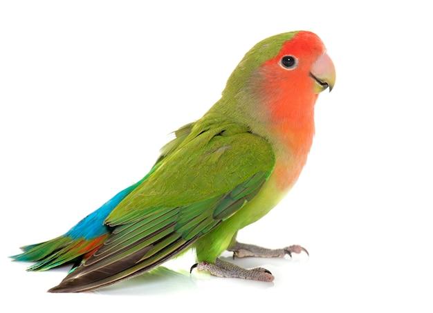 Lovebird с персиковым лицом