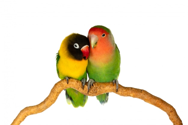 Lovebirds on a branch