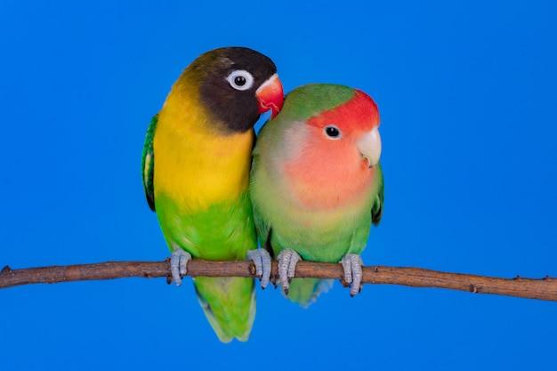 Lovebirds on a branch
