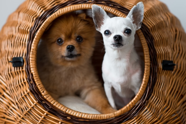 Lovely and adorable breeding puppies looking at camera from wicker dog house