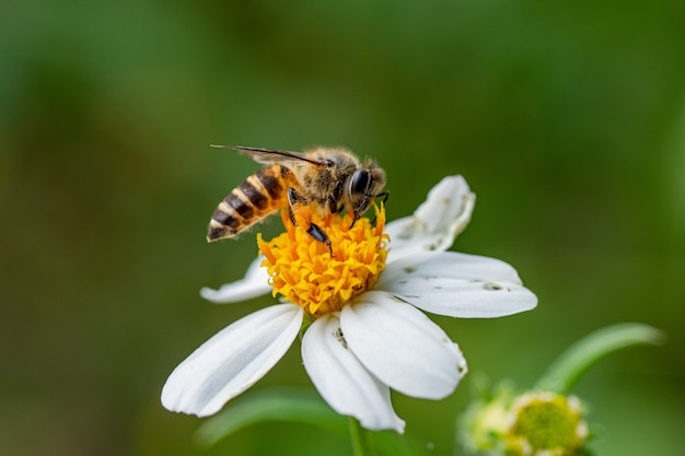 Lovely bee collecting nectar on white flower  wildlife photography