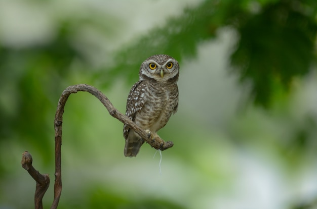 Lovely bird, spotted owlet