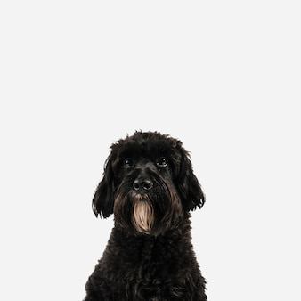 Lovely black dog posing with white background