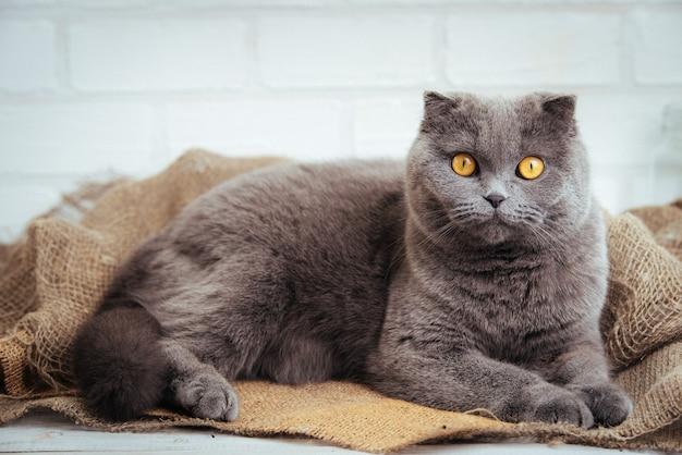 黄麻布に金色の目を持つ素敵な青いスコティッシュフォールド猫