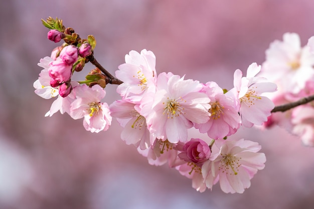 春の庭にあるピンクのサトザクラの素敵な枝。さくら。春の背景。