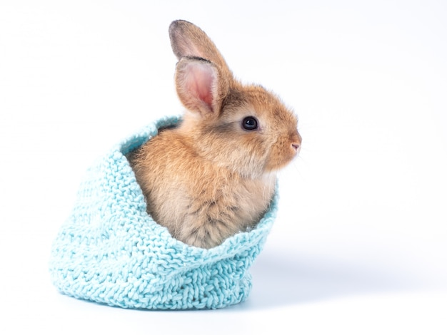 Lovely brown baby rabbit in blue knitting hat isolated on white wall.