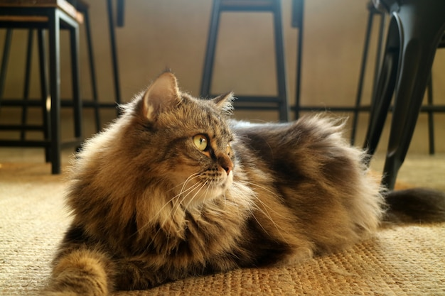 Lovely brown fluffy hair persian cat squatting on the floor