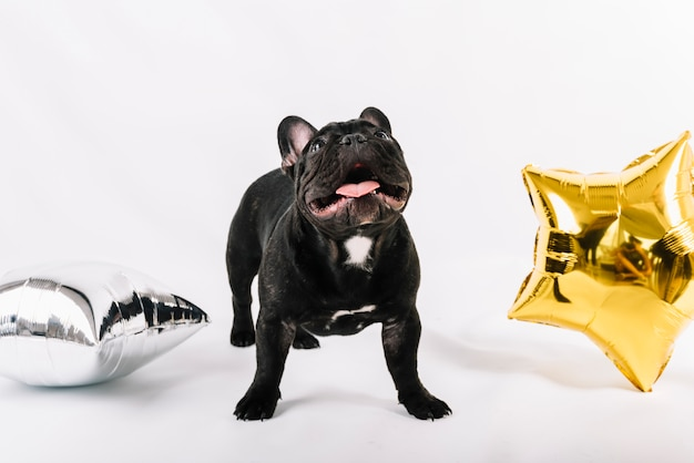 Lovely bulldog posing with party elements