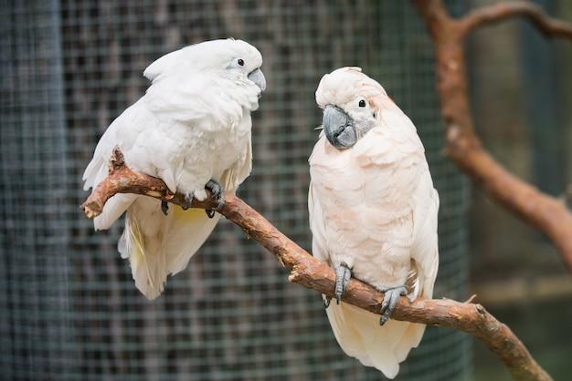 Пара милых попугаев какаду на ветке