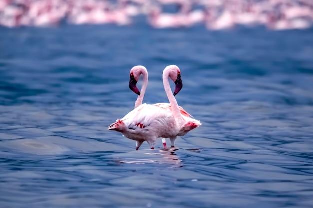 The lovely couple of flamingos on the lake bogoria. kenya. africa