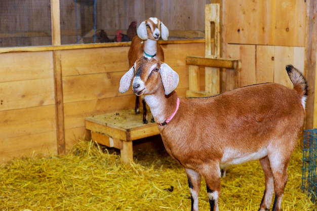 Lovely couple goats standing in wooden shelter