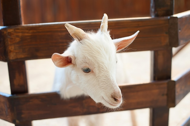 Lovely couple kid white goats. two little white goats standing in wooden shelter