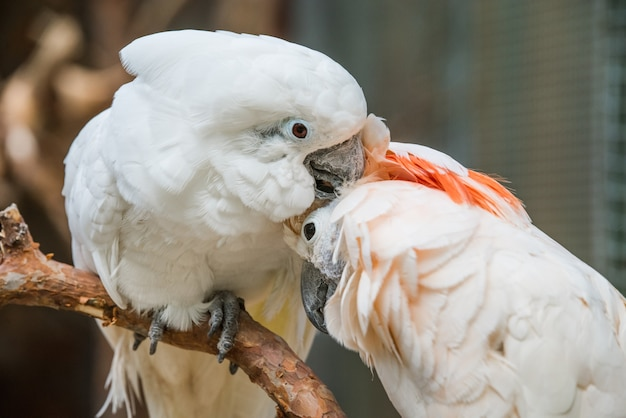 Lovely couple white cockatoos parrots on branch