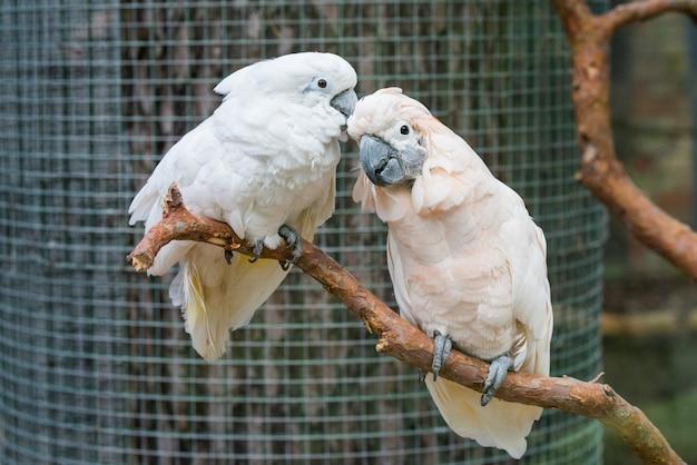 枝に素敵なカップルの白いオウム