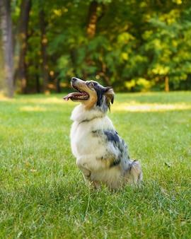 Милая собака австралийской овчарки сидит в траве с высунутым языком и отдыхает после утренней прогулки