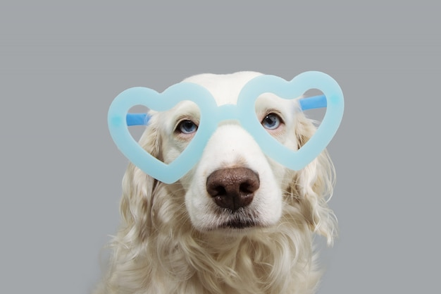 Lovely dog in blue heart shaped glasses isolated on gray