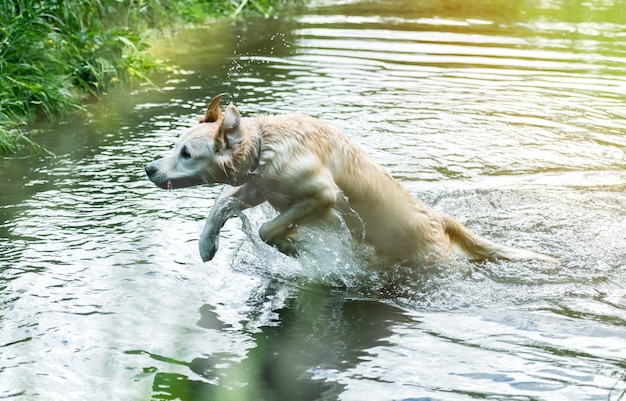 川で楽しんでいる素敵な犬