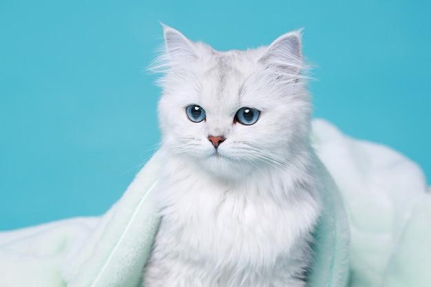 Прекрасный пушистый белый кот сидит в мягком пледе на синем фоне.