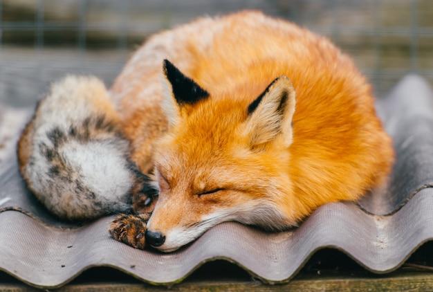 Прекрасная лиса спит на крыше.