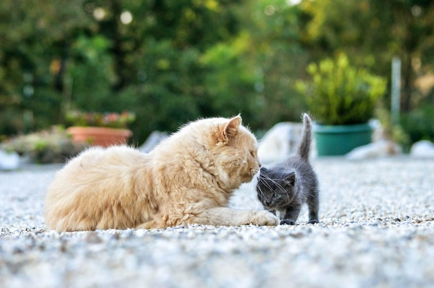 Милый рыжий кот играет с очаровательным серым котенком в саду