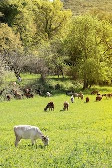 Прекрасные козы, пасущиеся на траве в пейзаже с зеленым лугом утром