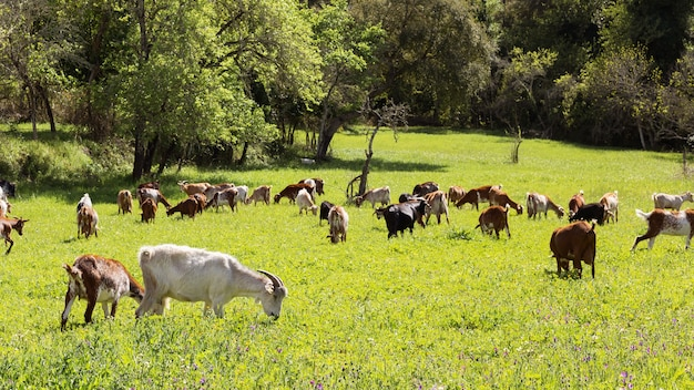 Lovely goats grazing grass in a landscape with green meadow in the morning