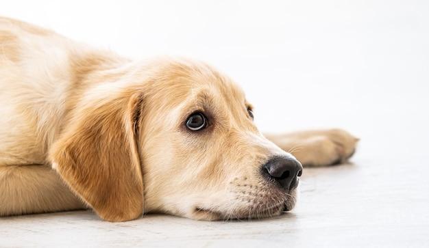 Милая собака золотистого ретривера