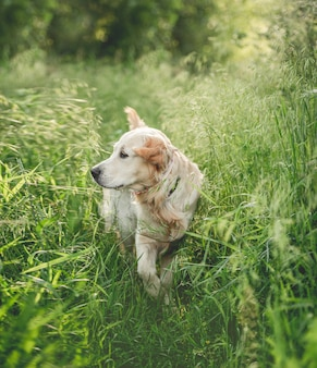 草を歩く素敵なゴールデンレトリバー
