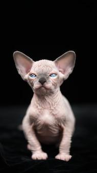 Lovely hairless kitten of canadian sphynx cat breed sitting on black velvet background
