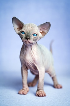 Милый голый котенок породы канадский сфинкс стоит на синем фоне и смотрит в камеру