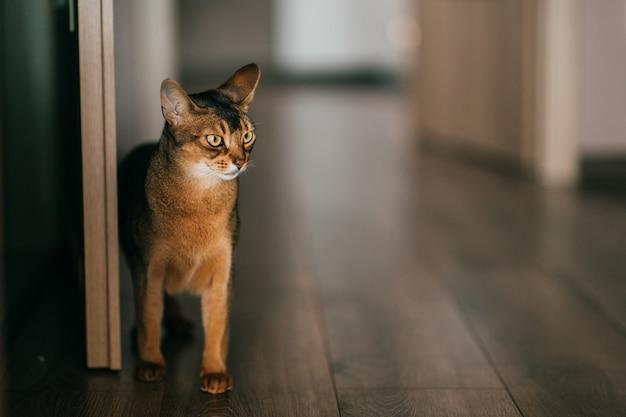 Lovely kitten portrait. abyssinian cat in home interior